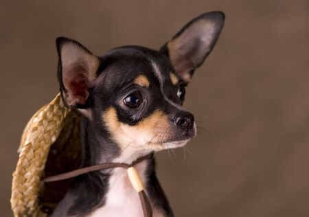 Chihuahua with a straw hat Stock Photo