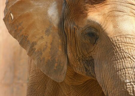 Headshot of an African elephant