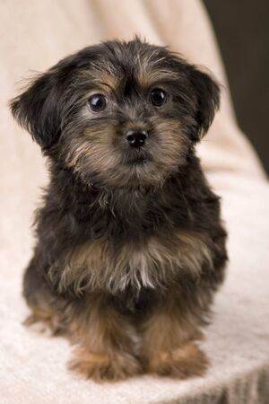 An adorable Yorki-poo puppy sits patiently for her portrait