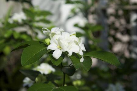 jessamine: Arancione Jessamine, � una pianta sempreverde tropicale cuscinetti piccoli, bianchi, fiori profumati, che viene coltivata come albero ornamentale. Archivio Fotografico