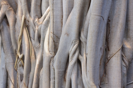 pipal: close up of a pipal tree and roots