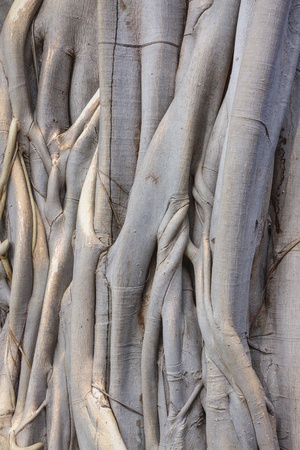 close up of a pipal tree trunk and roots photo