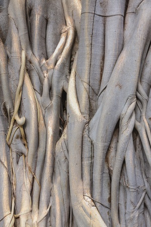 peepal tree: close up of a pipal tree trunk and roots