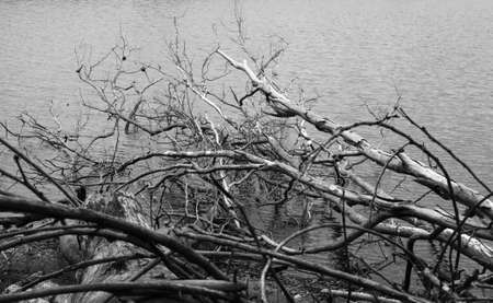 dead dry trees on water surface by the lake photo