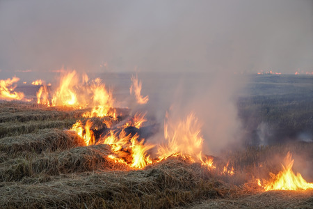 irresponsible: burning, the irresponsible choice to get rid of rice field stubble Stock Photo
