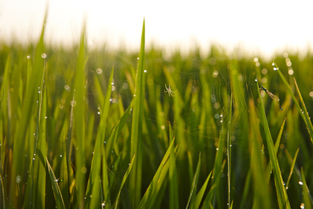 interiour shots: View of rice paddy field in the morning Stock Photo