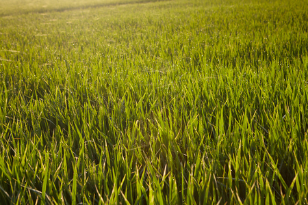 interiour: View of rice paddy field in the morning Stock Photo