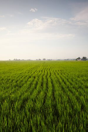 rijst: View of a rice paddy field with blue sky