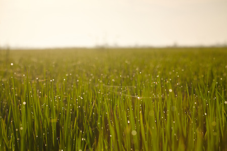 multi touch: Rice paddy field