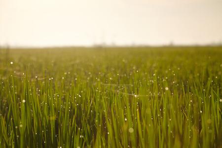 rice paddy: Rice paddy field