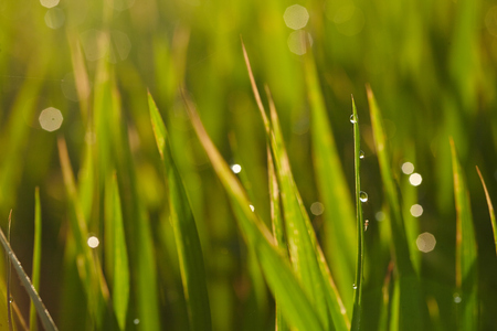 interiour shots: Close up of a rice paddy field
