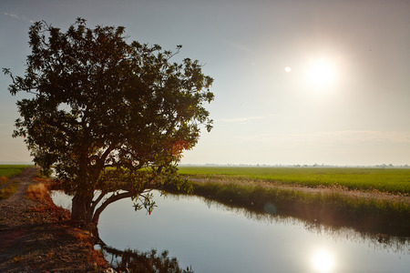 rijst: View of a tree at a paddy field