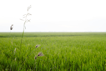 View of a rice paddy field Stock Photo