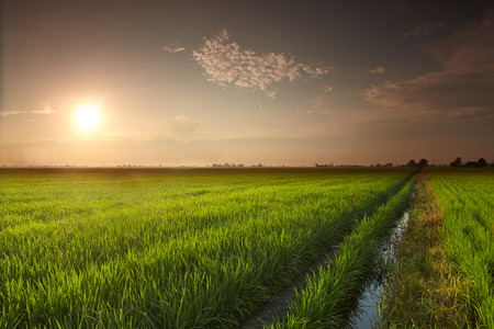 Landscape of a rice paddy field Stock Photo