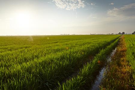 rijst: Landscape of a rice paddy field Stock Photo