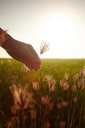 rijst: Hand touching rice paddy close up