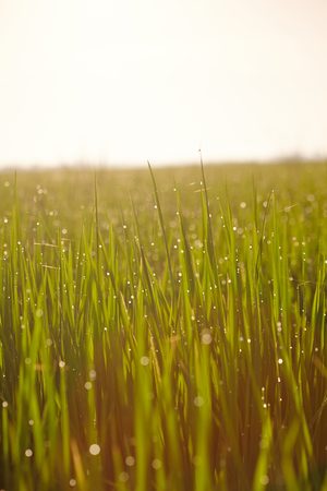 interiour shots: Landscape of a paddy field in the morning Stock Photo