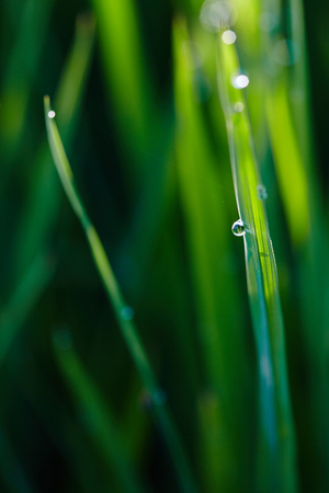 interiour shots: Close up of a paddy leaf with morning dew drops