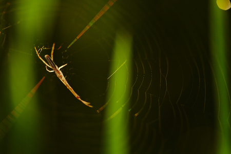 interiour shots: Close up of a spyder and its web at a paddy field