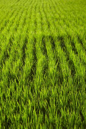 rijst: Landscape of a paddy field Stock Photo