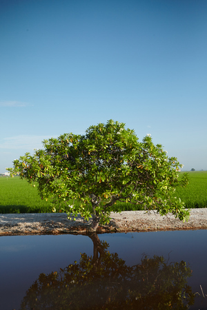 interiour: Landscape of a tree at a paddy field Stock Photo
