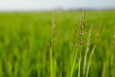 rijst: Image of rice paddy close up