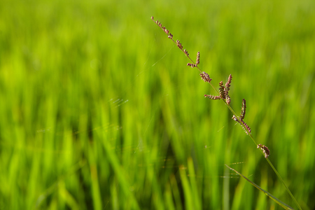 interiour shots: Image of rice paddy close up