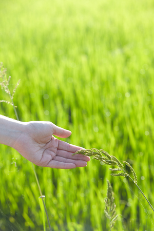 agri: Hand touching rice paddy close up