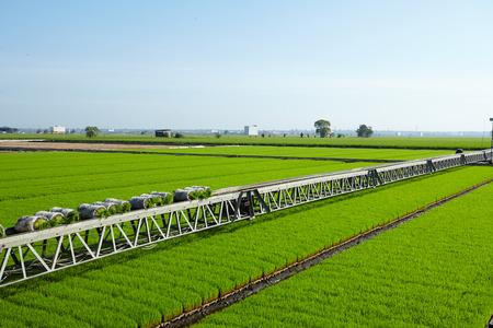 rijst: Rice paddy plant on conveyor belt ready to transport