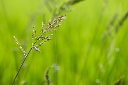 no photo: Image of rice paddy close up