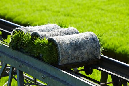 agri: Rice paddy plant on conveyor belt ready to transport