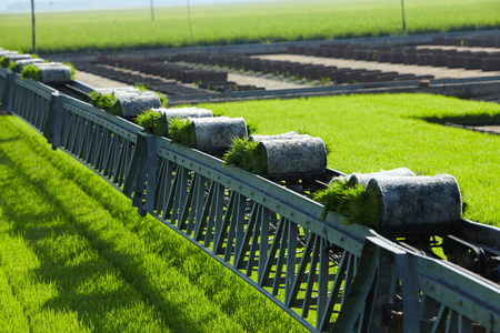 Rice paddy plant on conveyor belt ready to transport