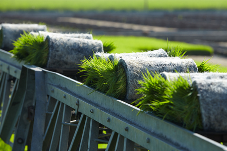 alimentation: Rice paddy plant on conveyor belt ready to transport