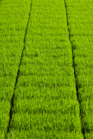 rijst: Rice paddy patches