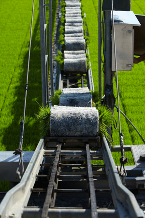 interiour: Rice paddy plant on conveyor belt ready to transport