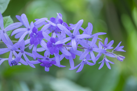 petrea: Petrea Flowers on the bright background. Stock Photo