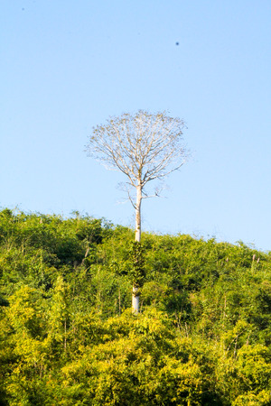dense forest: Large lonely tree among dense forest. Laos Stock Photo