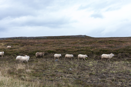 The row of the marching sheep - The front seat of the car has its benefits too!