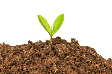 plant growth: Young plant growing from soil on white background