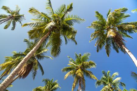 palmier: Palm trees with coconut under blue sky Banque d'images