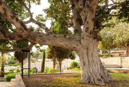 requires: Old sycamore fig tree. Thick and heavy branche requires a support constractions Stock Photo