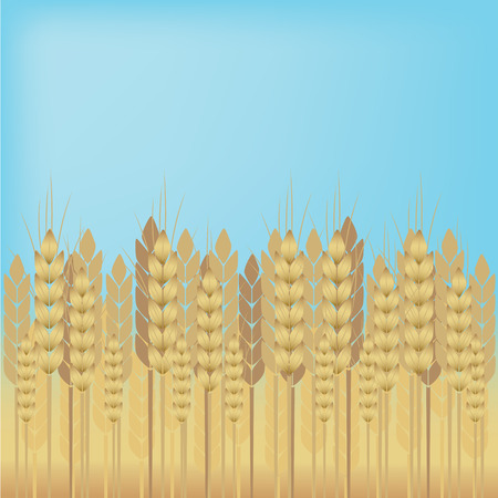 Yellow wheat over blue sky background.