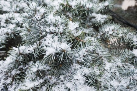 Spruce branches under the snow.