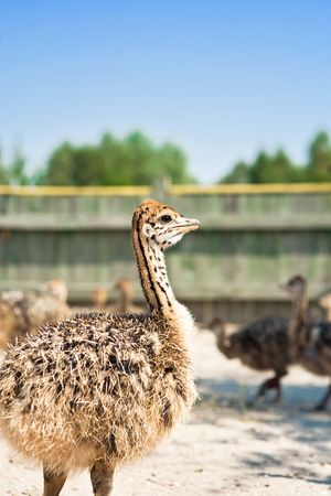 Young ostriches on the farm Stock Photo