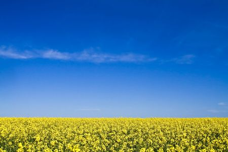 Field with yellow flowers and blue sky