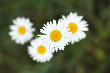 camomiles on a background a green grass Stock Photo