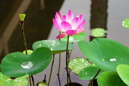 pink water lilly flower. close-up photo