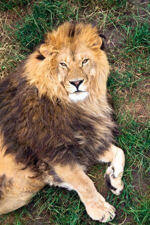 Lion resting on grass