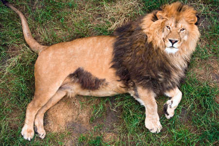 Lion resting on grass, top-view
