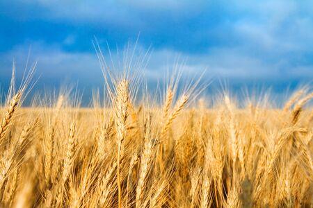 Golden wheat field on blue sky